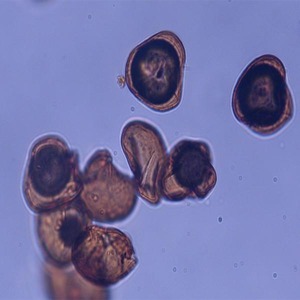 Sporopollenin Lycopodium