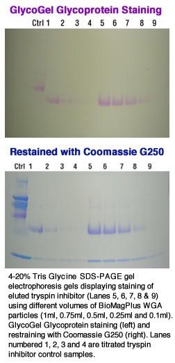 BioMag®Plus Wheat Germ Agglutinin